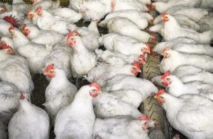 """Recreational drug """"Special-K"""" found in '100% Natural' chicken"""